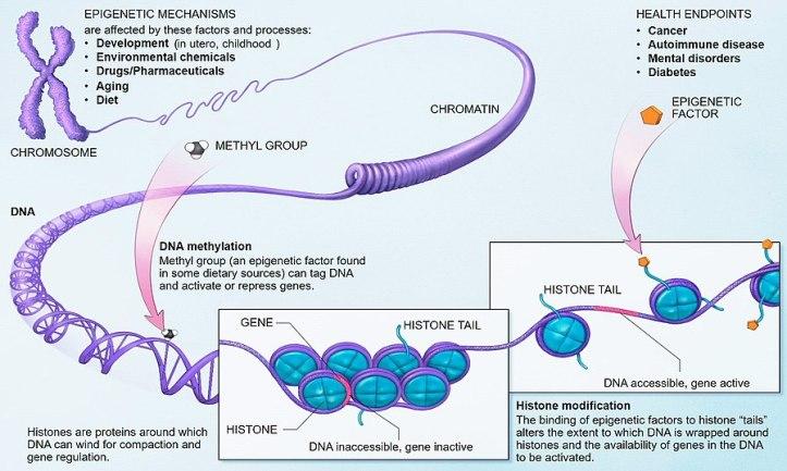 898px-Epigenetic_mechanisms